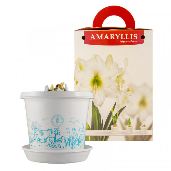 Amaryllis Arctic Nymph in pot and in gift box