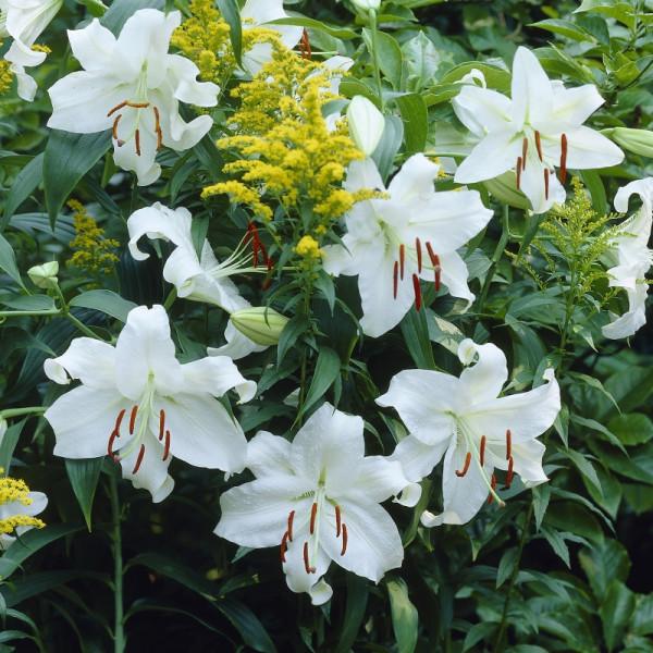 Lily Casa Blanca