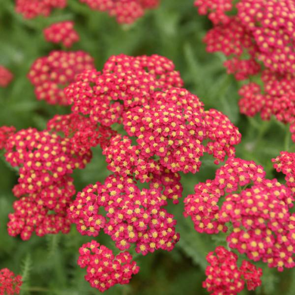 Yarrow (Achillea) 'Paprika'