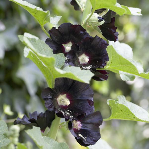 Hollyhock (Alcea rosea) 'Nigra'