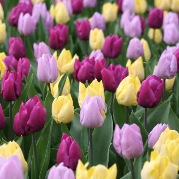 Tulip Middle Flowering mix