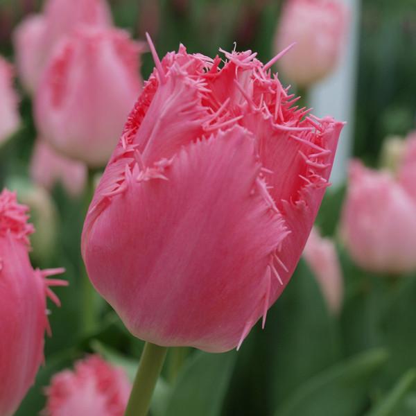 Tulip Cacharel