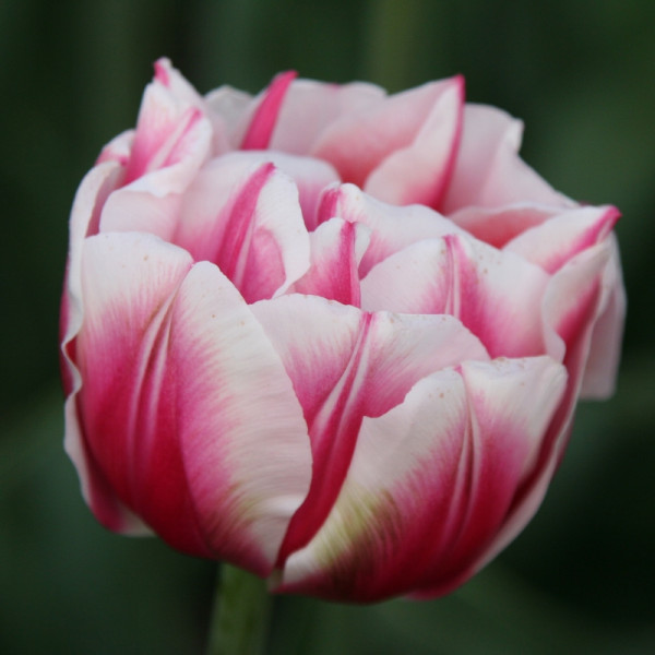 Tulip Fantasy Lady