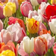 Alles-Over-Tulpen-darwin-hybride