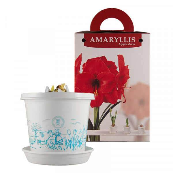 Àmaryllis Red Pearl in pot and in gift box