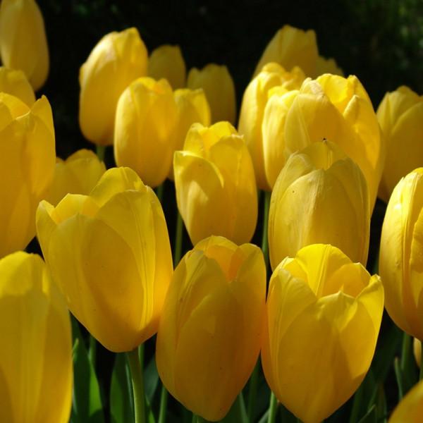 XL-Pack Tulip Big Smile®