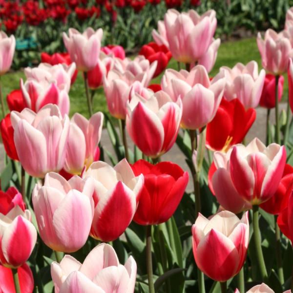 Tulip Delight Mix
