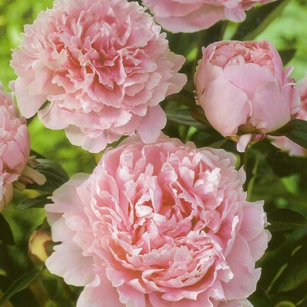 Peony lactiflora 'Sarah Bernhardt'