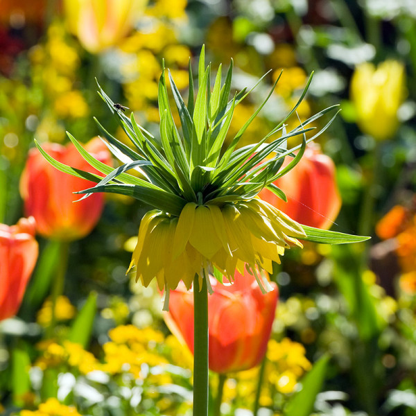 Fritillaria imperialis Lutea
