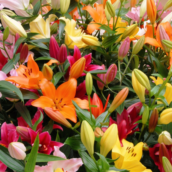 Lilium Asiatic Mix