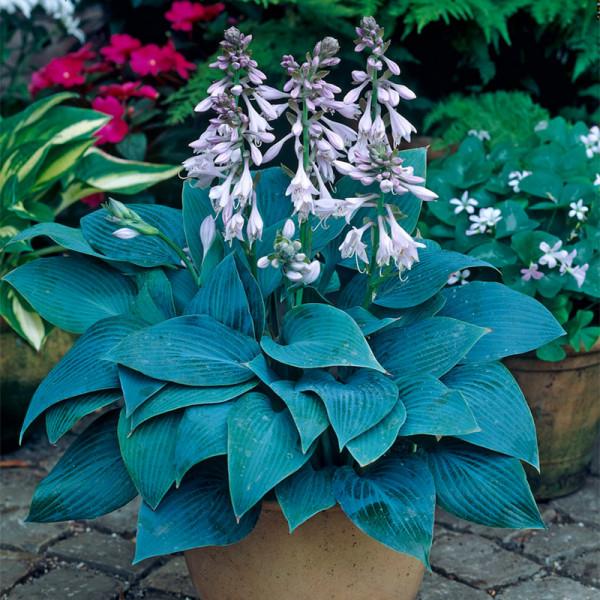 Plantain Lily (Hosta tardiana) 'Halcyon'