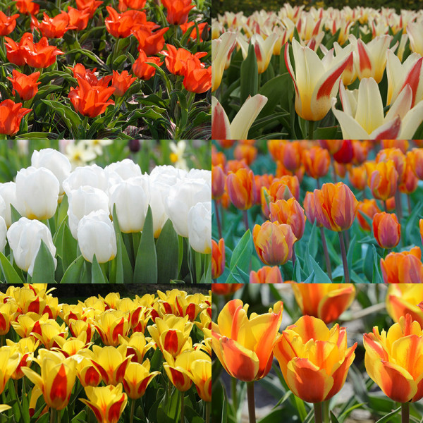 Flower Bulb Collection CALGARY