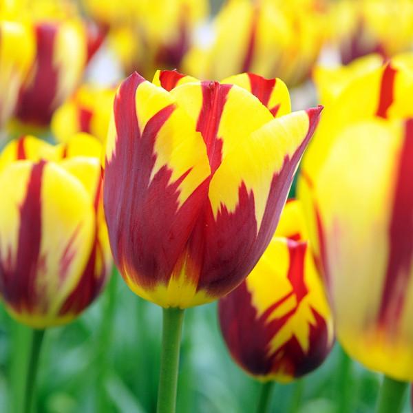 Tulip Holland Queen®