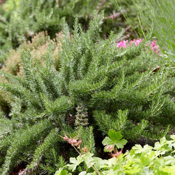 Prostrate Rosermary (Rosmarinus lavandulaceus)