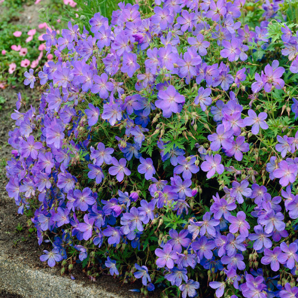 Crowfoot (Geranium) 'Johnson's Blue'