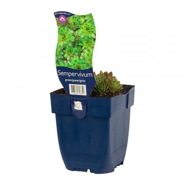 Houseleek (Sempervivum) Green