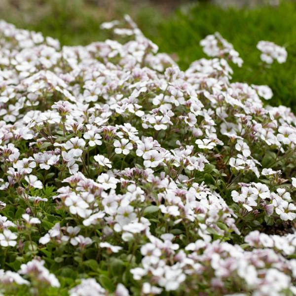 Gypsophila cerastioides