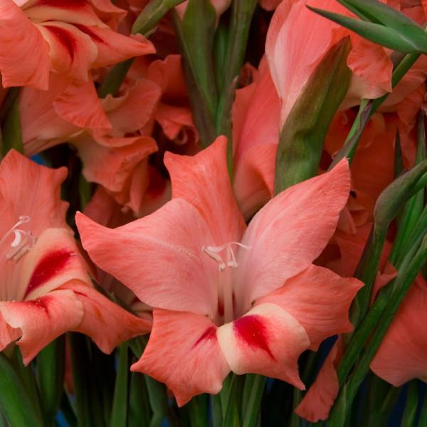 Gladiolus Nathalie