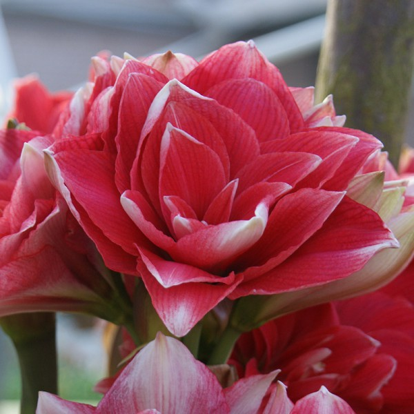 Amaryllis Double Dream à 3