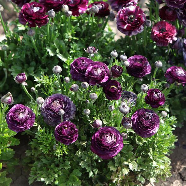 Ranunculus Aviv Purple