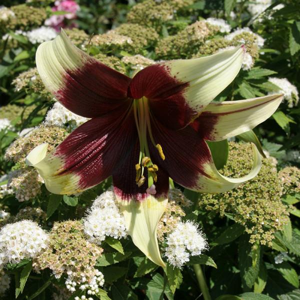 Lily nepalense