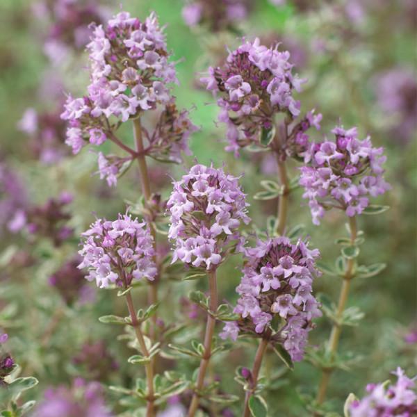 Thyme (Thymus vulg.) 'Silver Posie'