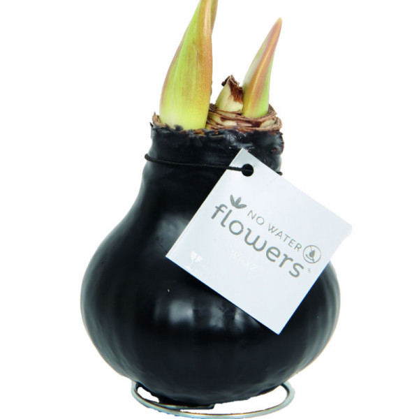 Wax Amaryllis Black
