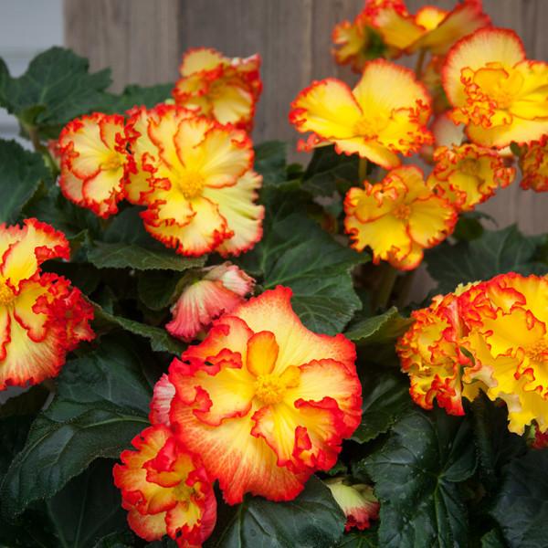Begonia Crispa Margina yellow-red