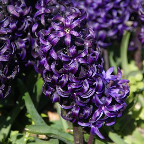Hyacinthus Pacific Ocean®