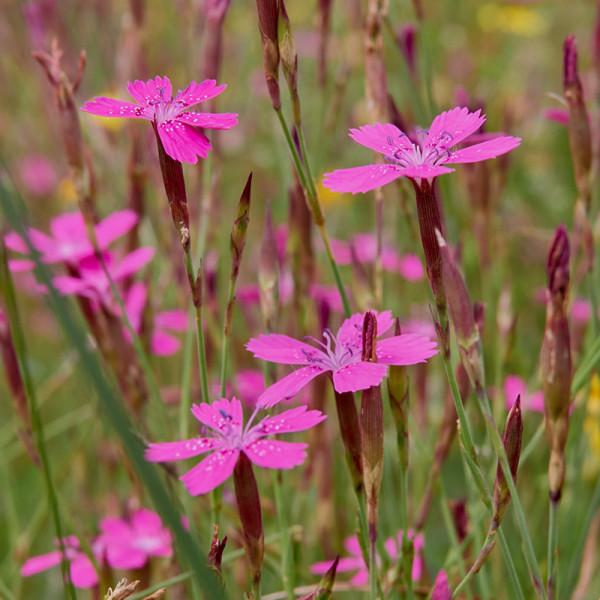 Maiden Pink (Dianthus delt.) 'Splendens'