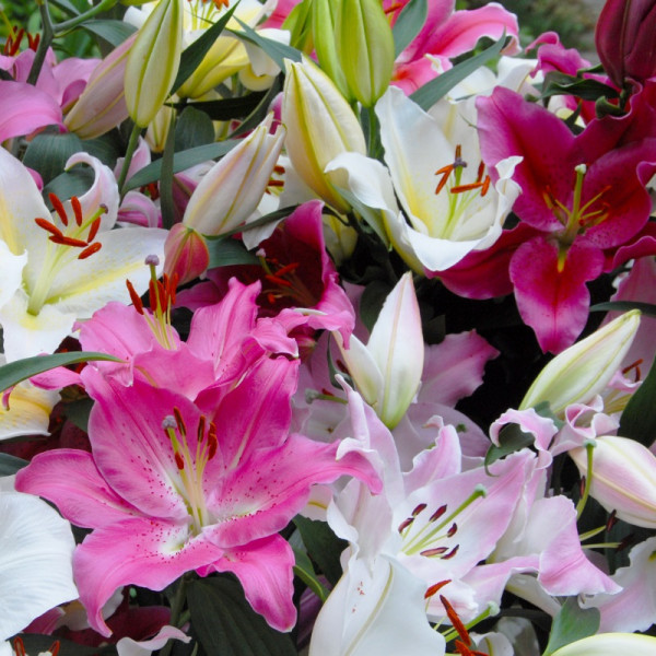 Lilium Oriental Mix