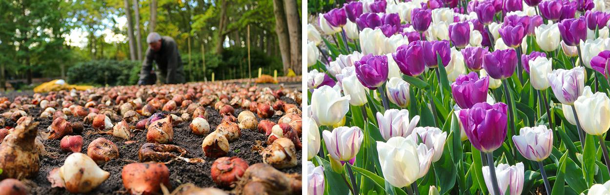 Alles-Over-Tulpen-planten