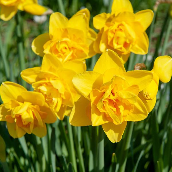 Narcissus Dick Wilden