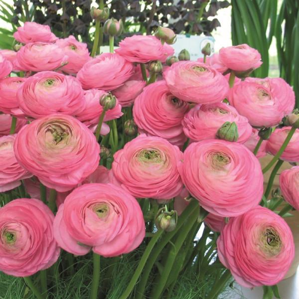 Ranunculus Aviv pink