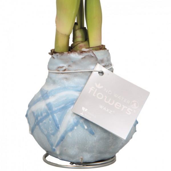 Wax Amaryllis Monet Blue