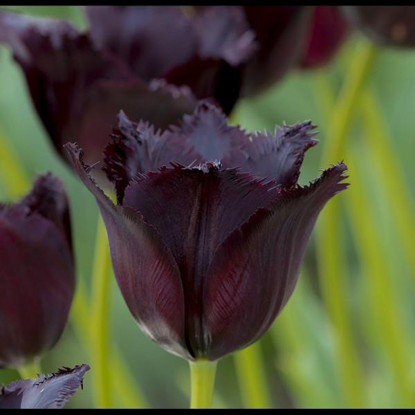 Tulip Vincent van Gogh