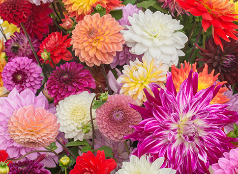 Alles-over-Dahlias-thumb