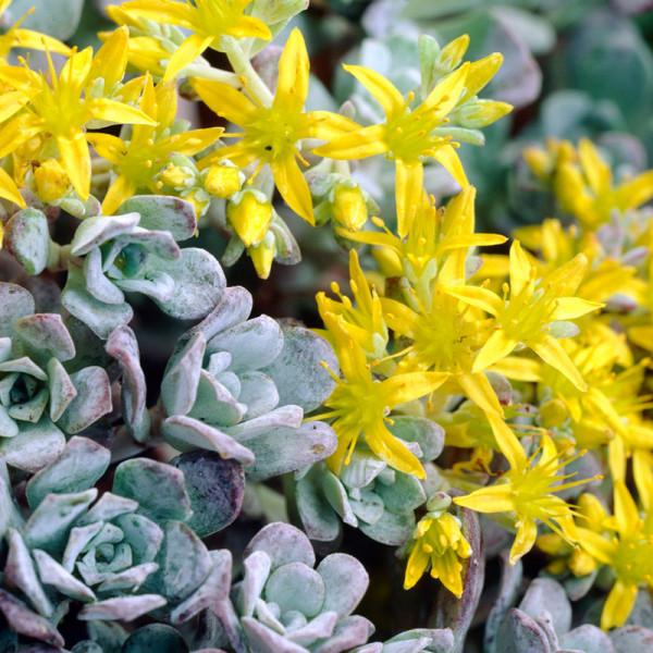 Stonecrop (Sedum spath.) 'Purpureum'