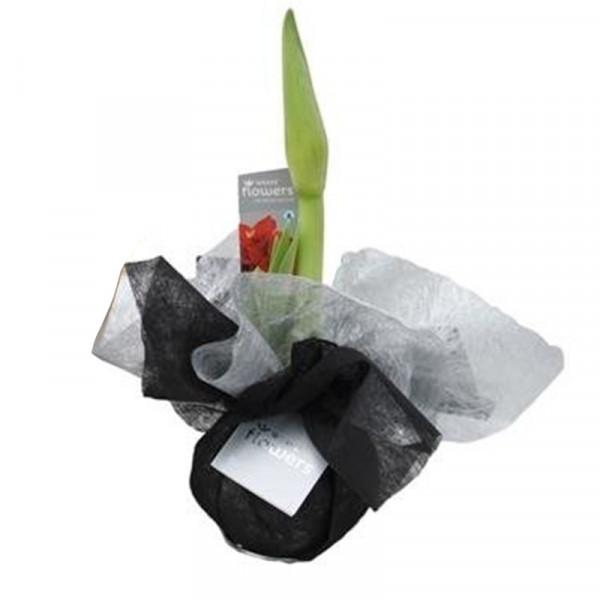 Wax Amaryllis Xmas Wrapz Black