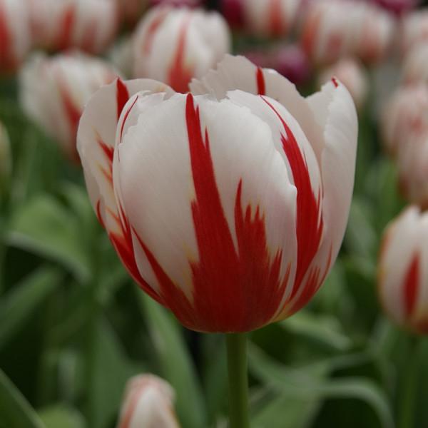 Tulip Happy Generation®
