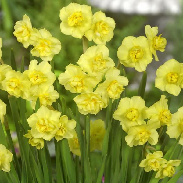 Narcissus Yellow Cheerfullness