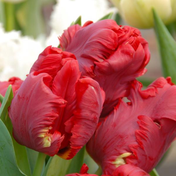Tulip Pionier®