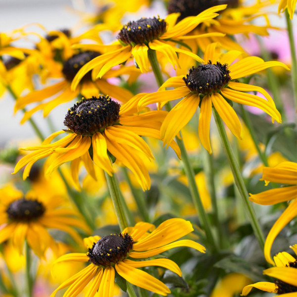 Coneflower (Rudbeckia fulg.) 'Little Goldstar'