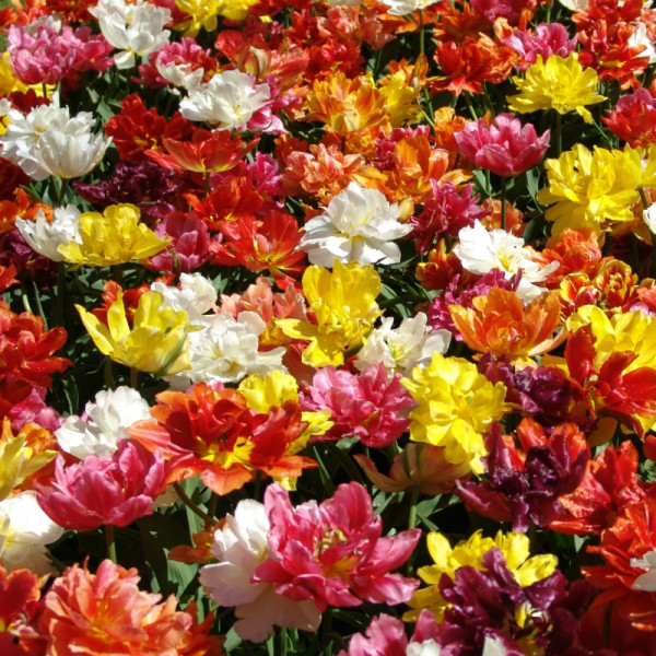 Tulip Double Mix