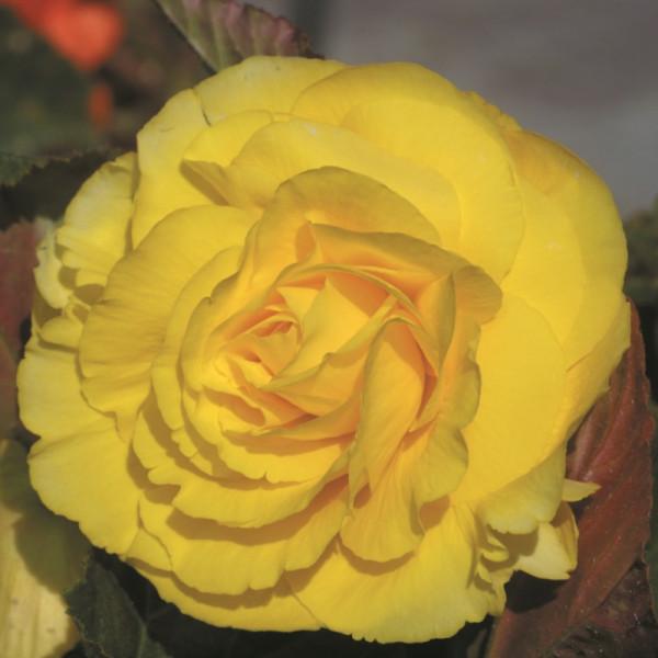 Begonia double yellow
