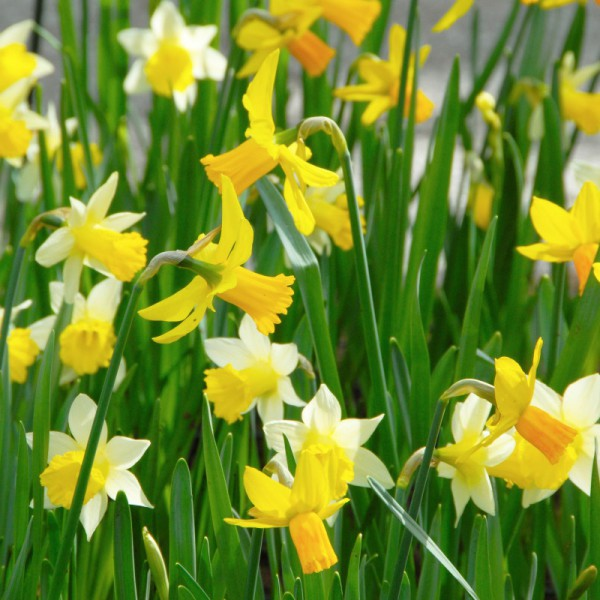 Narcis Miniature mix