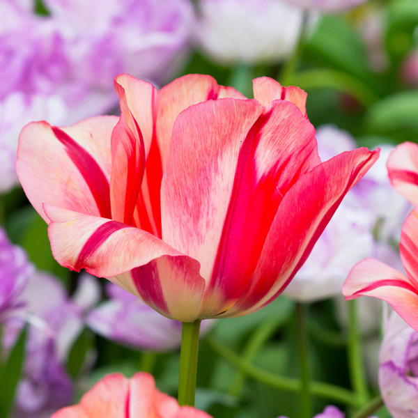 Tulip Spryng Break