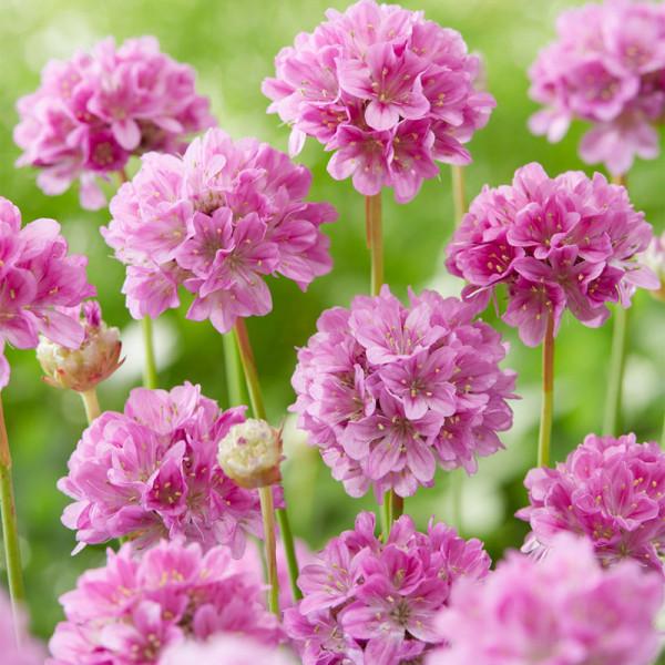 Common Thrift (Armeria) 'Ballerina Lilac'