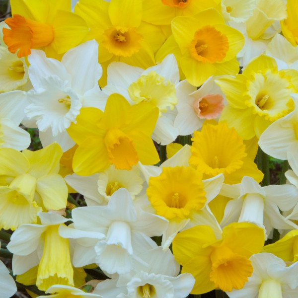 Narcissus Trumpet Mix