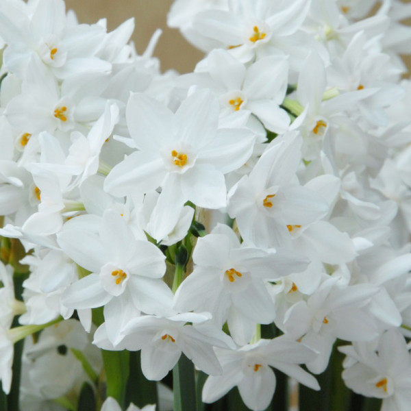 Narcissus Ziva